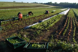 Harvesting at Roxbury Farm