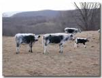 Randall cattle at Artemis Farm